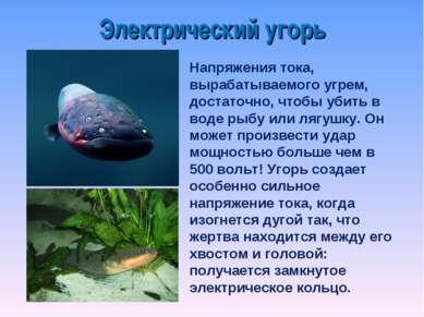 Напряжения тока, вырабатываемого угрем, достаточно, чтобы убить в воде рыбу и...