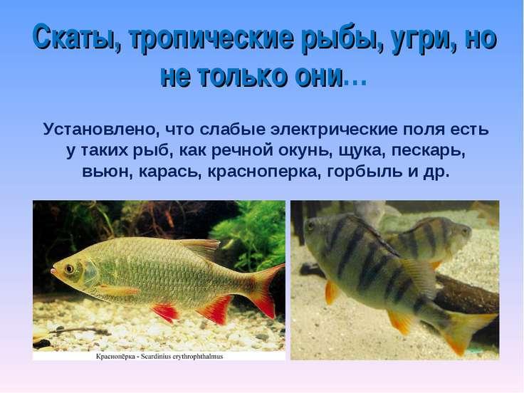 Скаты, тропические рыбы, угри, но не только они… Установлено, что слабые элек...