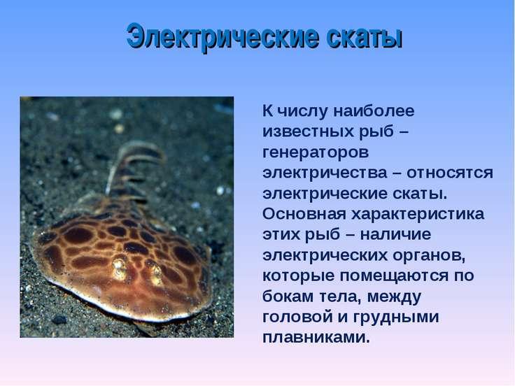 Электрические скаты К числу наиболее известных рыб – генераторов электричеств...