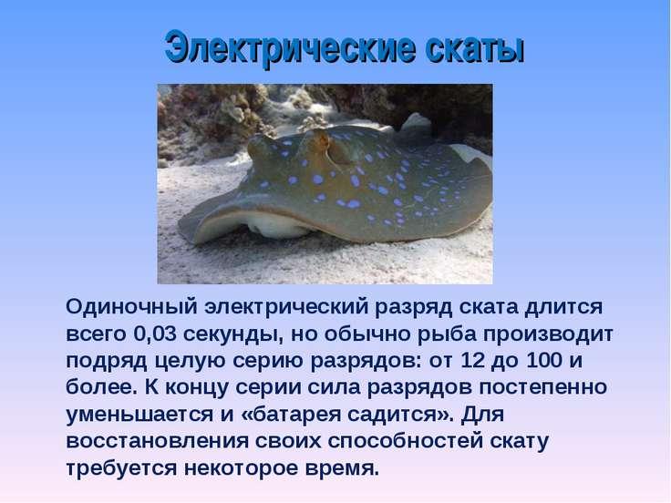 Одиночный электрический разряд ската длится всего 0,03 секунды, но обычно рыб...
