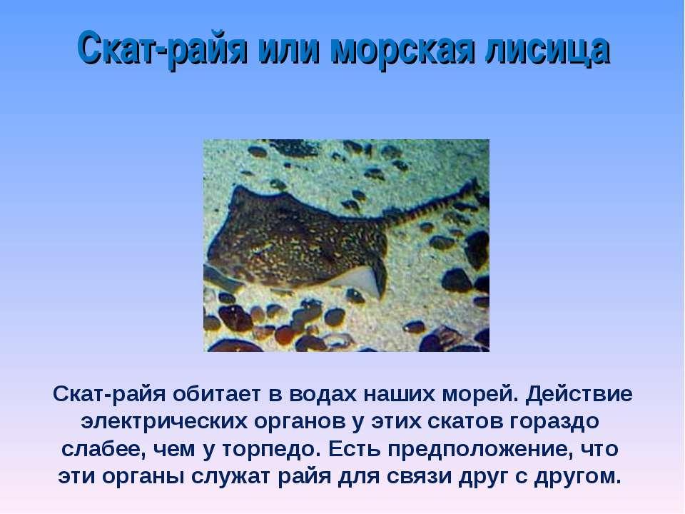 Скат-райя или морская лисица Cкат-райя обитает в водах наших морей. Действие ...