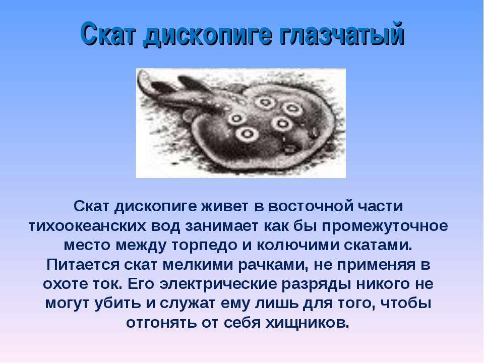 Скат дископиге живет в восточной части тихоокеанских вод занимает как бы пром...
