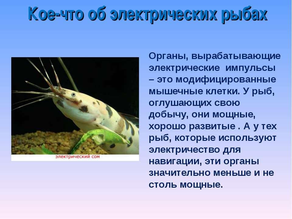 Кое-что об электрических рыбах Органы, вырабатывающие электрические импульсы ...