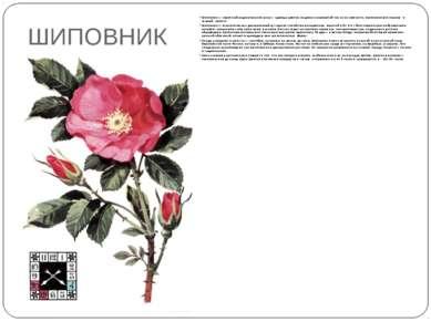 ШИПОВНИК Шиповник — скромный родоначальник розы — царицы цветов, издавна назы...