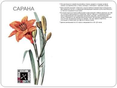 САРАНА Это растение из семейства лилейных можно увидеть в городе на фоне газо...