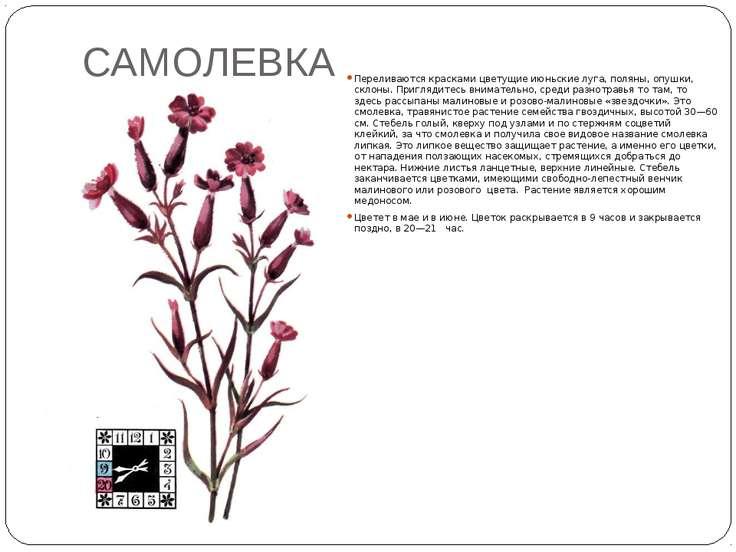 САМОЛЕВКА Переливаются красками цветущие июньские луга, поляны, опушки, склон...