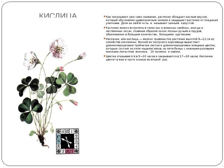 КИСЛИЦА Как показывает уже само название, растение обладает кислым вкусом, ко...
