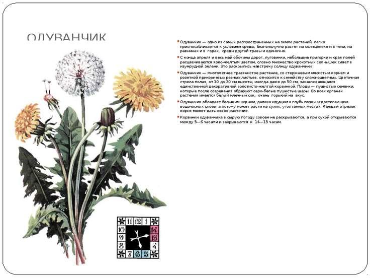 ОДУВАНЧИК Одуванчик — одно из самых распространенных на земле растений, легко...