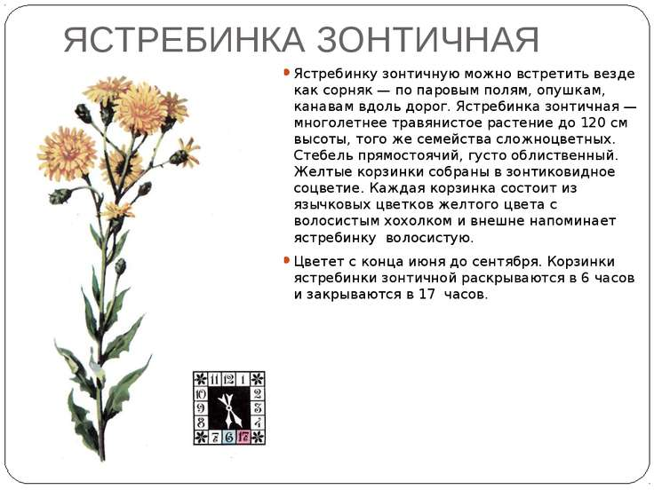 ЯСТРЕБИНКА ЗОНТИЧНАЯ Ястребинку зонтичную можно встретить везде как сорняк — ...