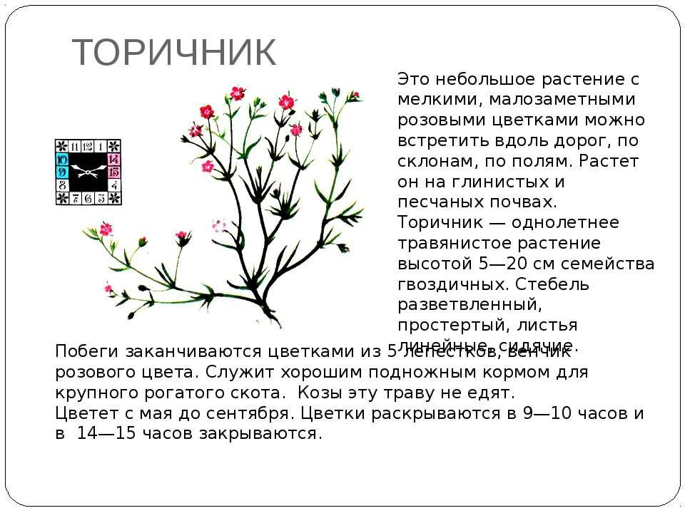 ТОРИЧНИК Это небольшое растение с мелкими, малозаметными розовыми цветками мо...