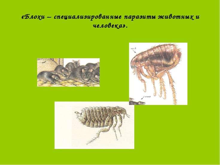 «Блохи – специализированные паразиты животных и человека».