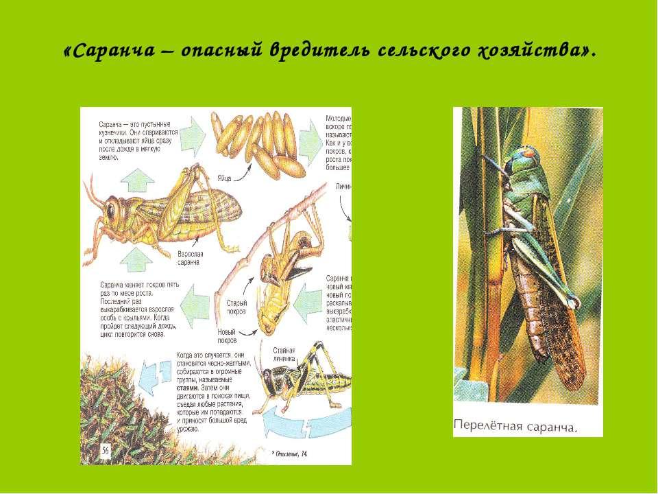 «Саранча – опасный вредитель сельского хозяйства».