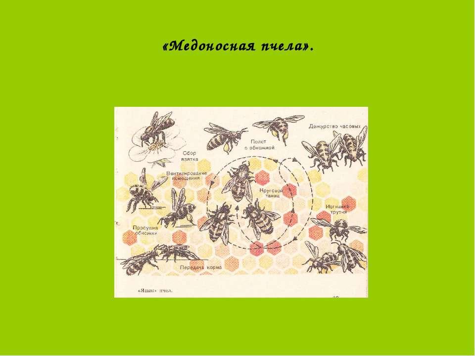 «Медоносная пчела».