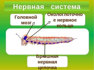Нервная система Окологлоточное нервное кольцо Брюшная нервная цепочка Головно...