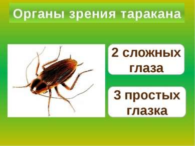 Органы зрения таракана 2 сложных глаза 3 простых глазка