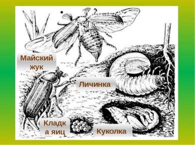муха Майский жук Кладка яиц Личинка Куколка