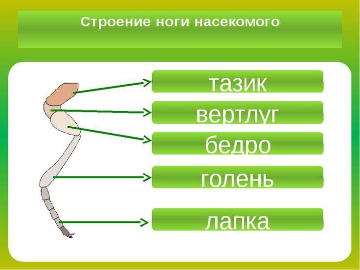 Строение ноги насекомого тазик вертлуг бедро голень лапка