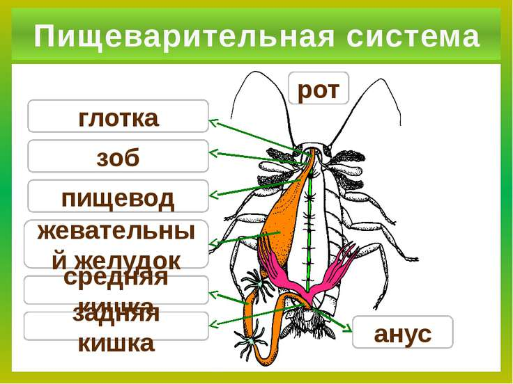 Пищеварительная система зоб глотка пищевод средняя кишка задняя кишка жевател...
