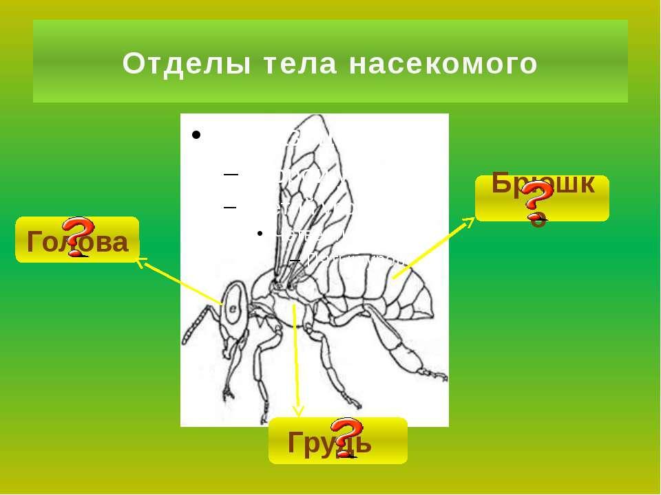 Голова Отделы тела насекомого Грудь Брюшко