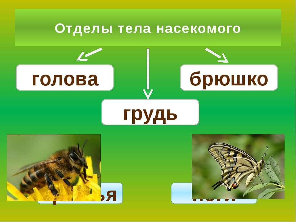 Отделы тела насекомого голова грудь брюшко крылья ноги