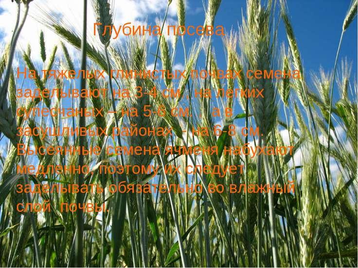 На тяжелых глинистых почвах семена заделывают на 3-4 см., на легких супесчаны...