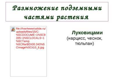 Размножение подземными частями растения Луковицами (нарцисс, чеснок, тюльпан)