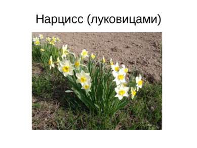 Нарцисс (луковицами)