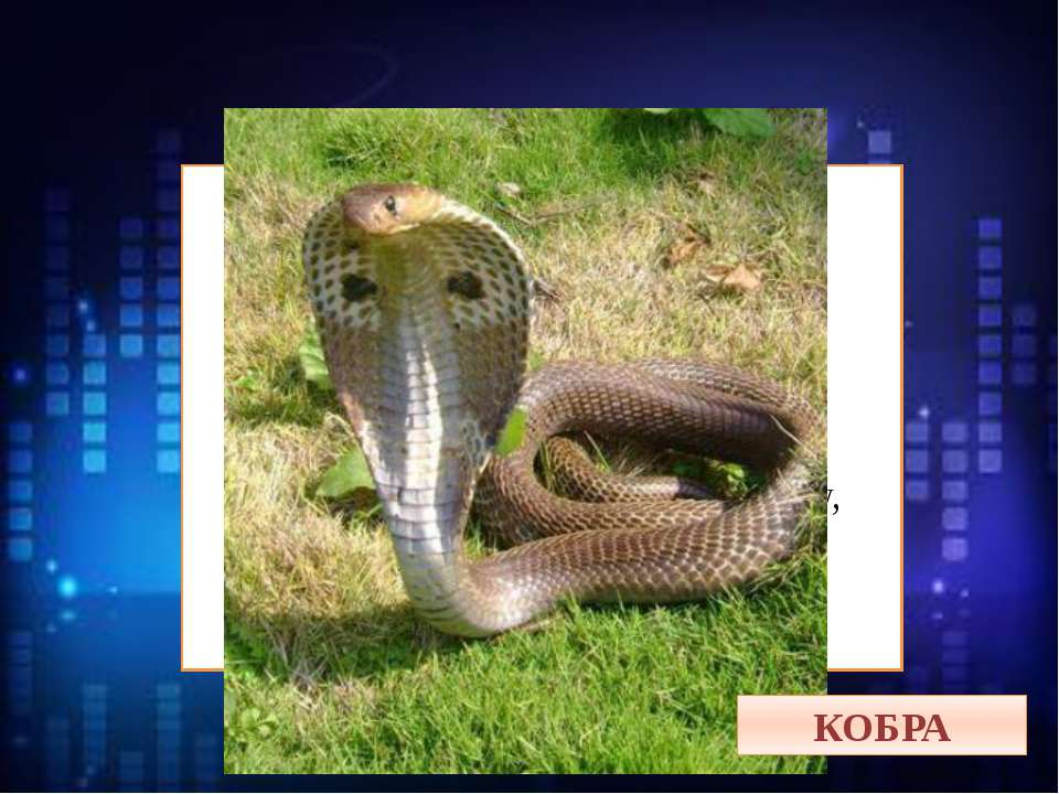 На ней забавный капюшон, Но вид её, ой, не смешон. Она страшней любой из змей...