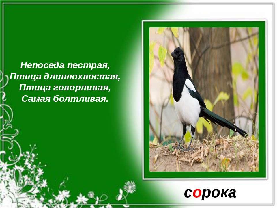 Непоседа пестрая, Птица длиннохвостая, Птица говорливая, Самая болтливая. сорока