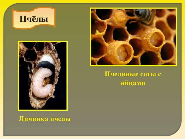 Пчёлы Пчелиные соты с яйцами Личинка пчелы