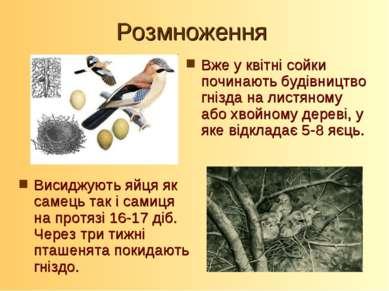 Розмноження Висиджують яйця як самець так і самиця на протязі 16-17 діб. Чере...
