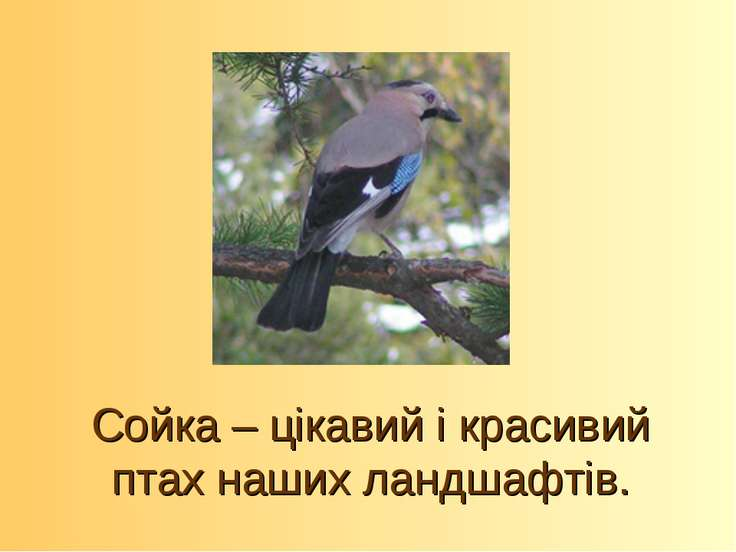 Сойка – цікавий і красивий птах наших ландшафтів.
