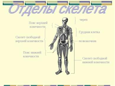 череп Пояс верхней конечности Скелет свободной нижней конечности Скелет свобо...