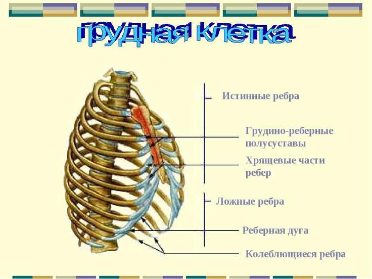 Истинные ребра Грудино-реберные полусуставы Хрящевые части ребер Ложные ребра...