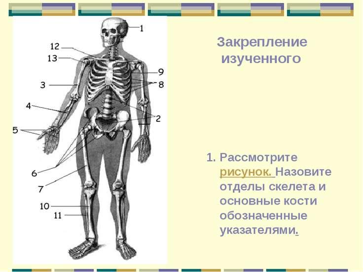 Рассмотрите рисунок. Назовите отделы скелета и основные кости обозначенные ук...