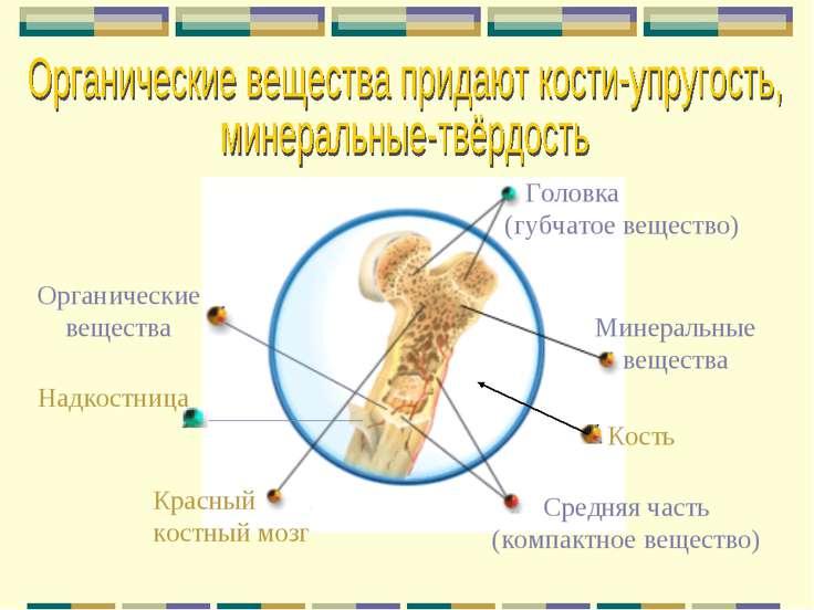 Кость Головка (губчатое вещество) Красный костный мозг Средняя часть (компакт...
