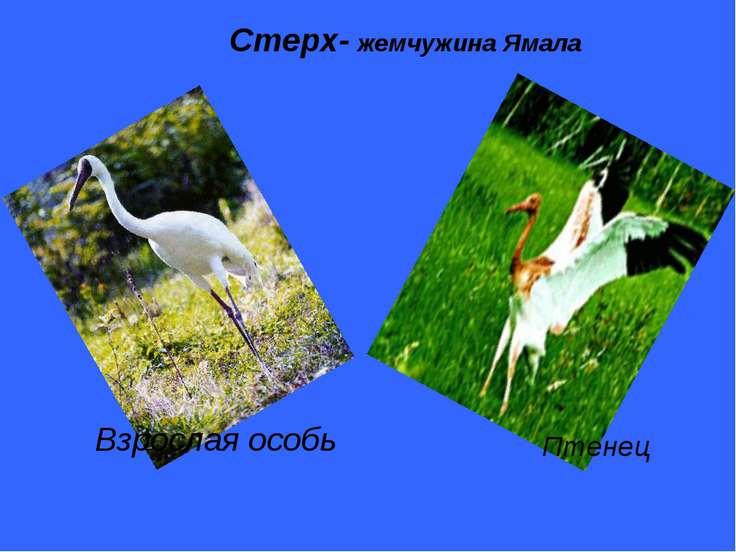 Стерх- жемчужина Ямала Взрослая особь Птенец