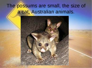 The possums are small, the size of a cat, Australian animals.