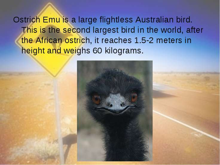 Ostrich Emu is a large flightless Australian bird. This is the second largest...