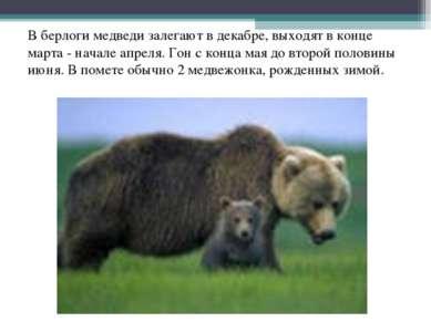 В берлоги медведи залегают в декабре, выходят в конце марта - начале апреля. ...