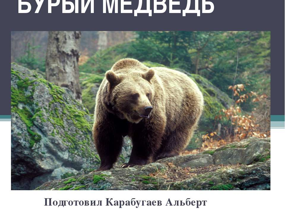 БУРЫЙ МЕДВЕДЬ Подготовил Карабугаев Альберт