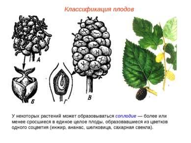 У некоторых растений может образовываться соплодие — более или менее сросшиес...