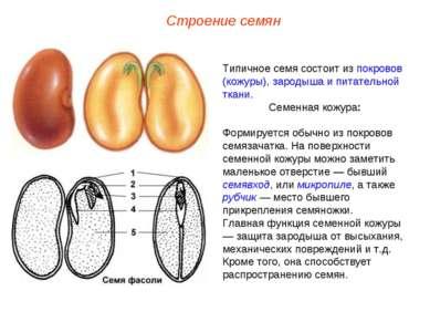 Типичное семя состоит из покровов (кожуры), зародыша и питательной ткани. Сем...
