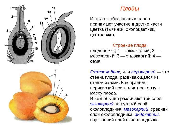 Иногда в образовании плода принимают участие и другие части цветка (тычинки, ...