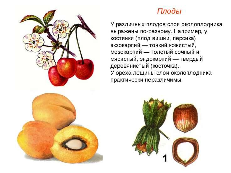 У различных плодов слои околоплодника выражены по-разному. Например, у костян...