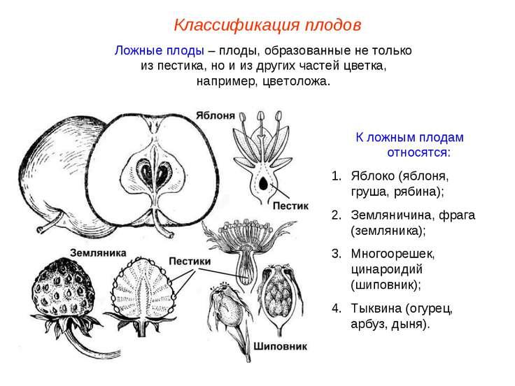 Классификация плодов Ложные плоды – плоды, образованные не только из пестика,...