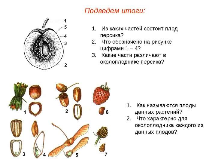 Из каких частей состоит плод персика? Что обозначено на рисунке цифрами 1 – 4...