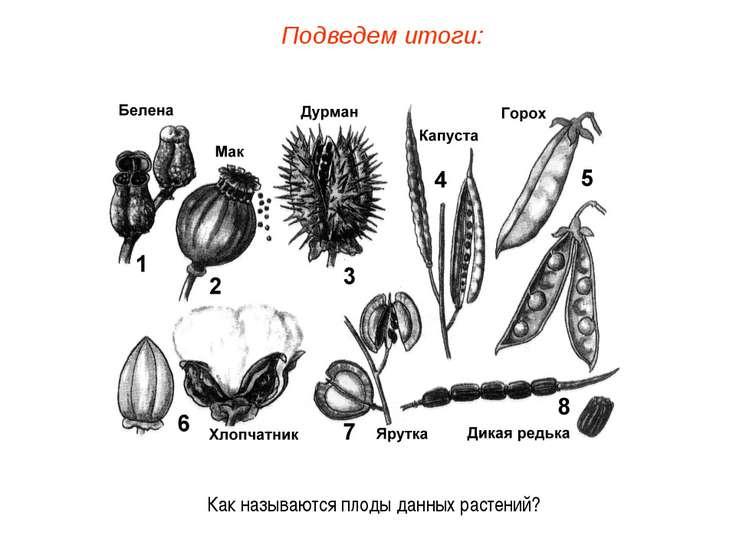Как называются плоды данных растений? Подведем итоги: