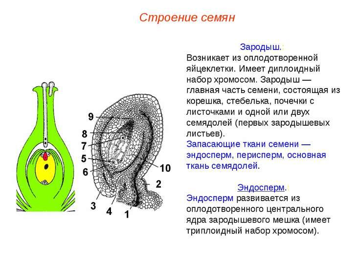 Зародыш.: Возникает из оплодотворенной яйцеклетки. Имеет диплоидный набор хро...