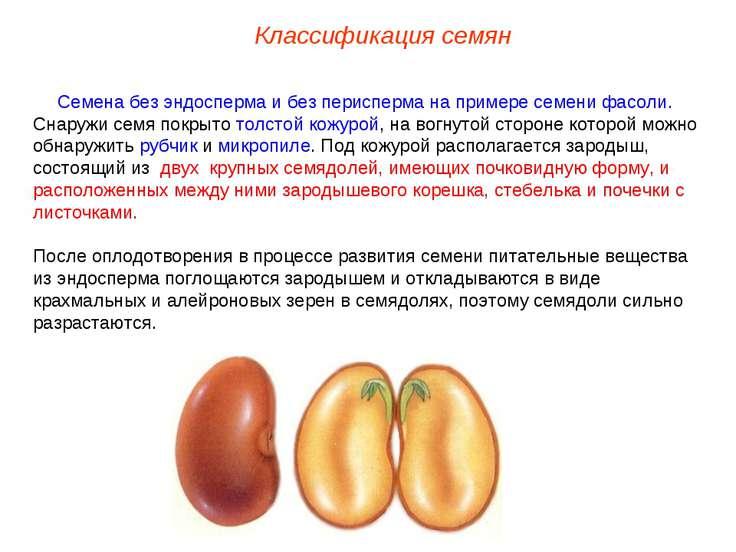 Семена без эндосперма и без перисперма на примере семени фасоли. Снаружи семя...